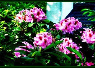 Bunga Bunga Cantik Yang Mematikan